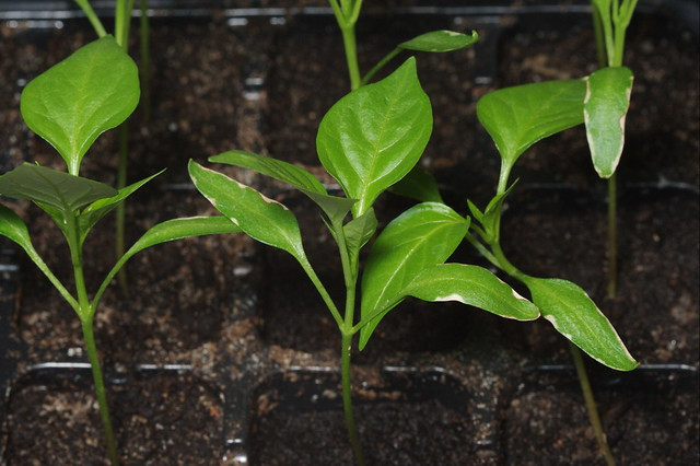 Chilli Growth from Flickr via Wylio