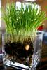 Grass Vase 4-9-09
