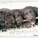 Three Puppies, One Stick by Blazingstar
