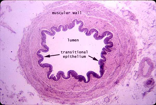 pampiniform plexus histology - photo #9