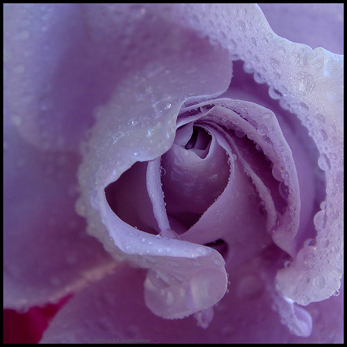 The heart of a rose ...