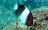 Brown-and-white butterflyfish - Similan, Thailand