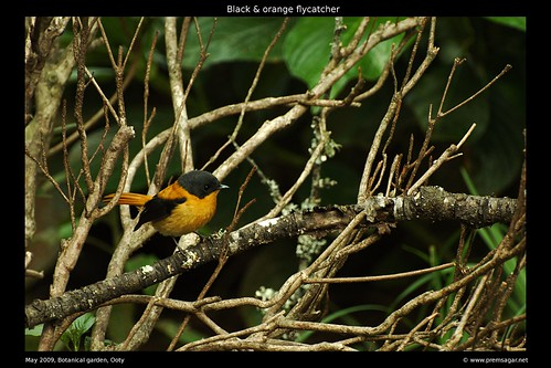 Black & Orange flycatcher 2