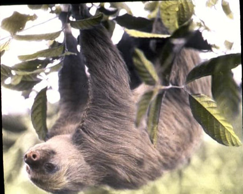 Two-toed sloth in a tree