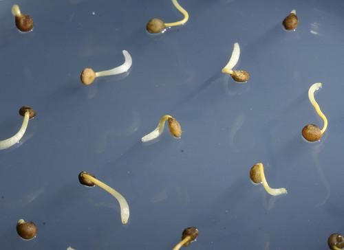 Cuscuta seedlings