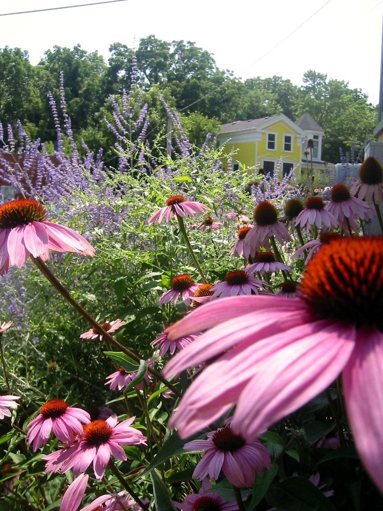 Echinacea ~ Anderson's Candy Shop, Richmond, Illinois