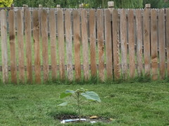 backyard, home fencing, grass, picket fence, wood, split rail fence, yard, lawn,