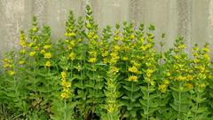annual plant, shrub, flower, plant, subshrub, herb,