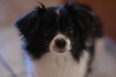 dog breed, animal, puppy, dog, pet, phalã¨ne, close-up, papillon, carnivoran,