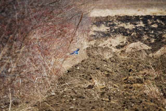 Blue Jay Flying into Brush Beside a Freshly Ploughed Field | Flickr ... Jay Z