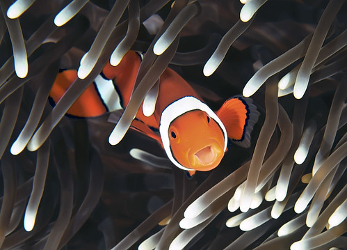 Edited Clownfish