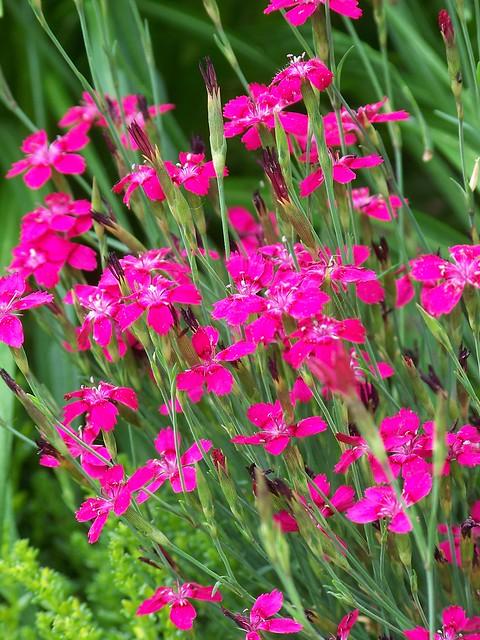 Zing Rose Dianthus | Flickr - Photo Sharing!