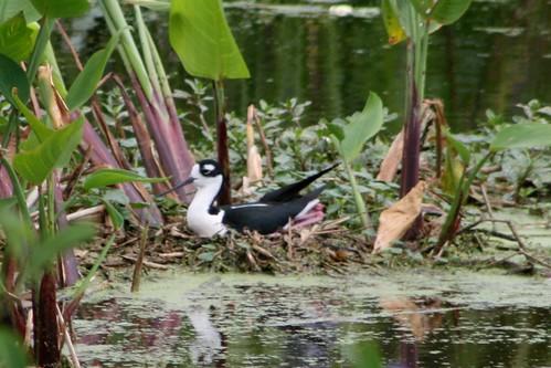 Black-Necked Stilt in nest