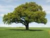 Oak (May) by Rob Watling
