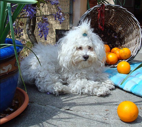 bolognese dog Lisette with oranges