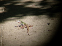 texas spotted whiptail (2)
