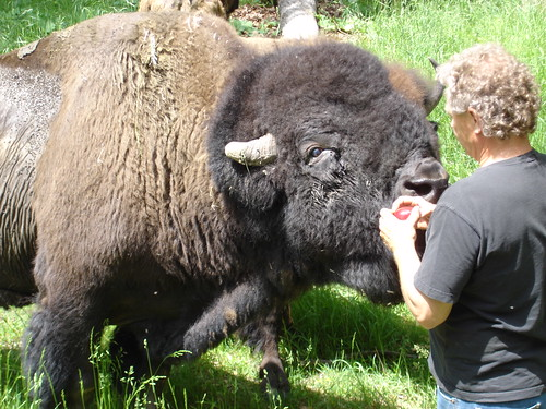 Feeding the bison