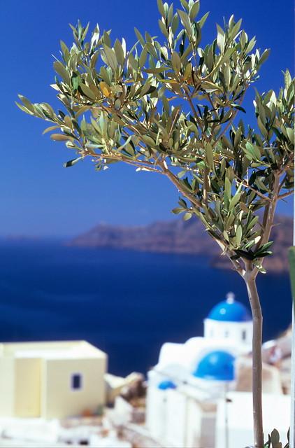 olive tree (santorini)