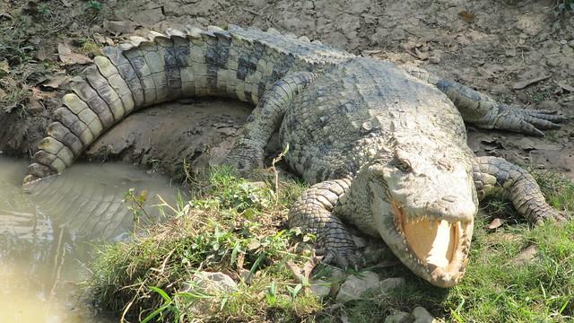 Crocodile farm a Phichit