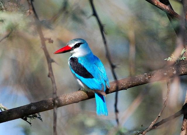 Woodland Kingfisher Woodland Kingfisher (H...