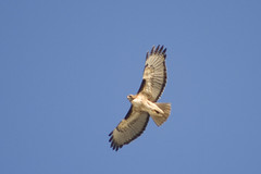harrier, animal, hawk, bird of prey, falcon, eagle, wing, vulture, fauna, buzzard, accipitriformes, beak, bird, flight,