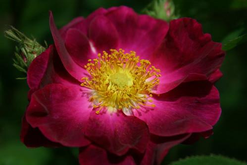 Rose piu belle del mondo perfect categorie shrub climber for Piante classificazioni inferiori successive