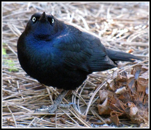 Birds of Yosemite National Park, Great tail Grackle, Assertive Behaviour