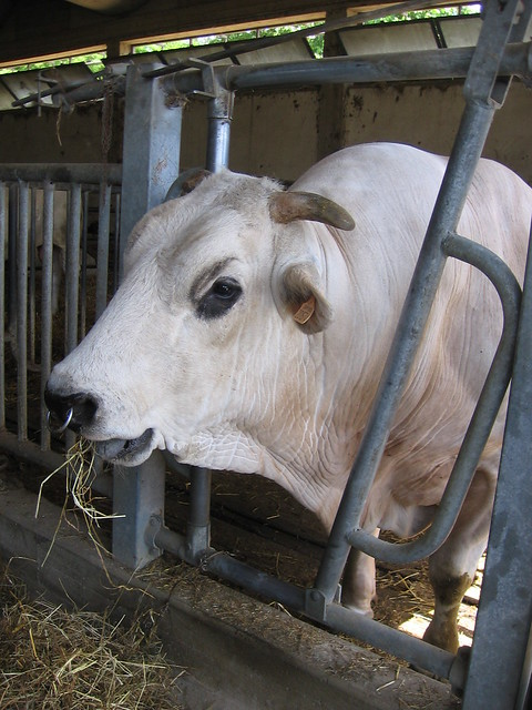 Chianina Bull Pictures http://www.flickr.com/photos/dorineruter/3574681333/