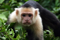 tufted capuchin(0.0), squirrel monkey(0.0), langur(0.0), drill(0.0), macaque(0.0), animal(1.0), monkey(1.0), mammal(1.0), capuchin monkey(1.0), fauna(1.0), white-headed capuchin(1.0), old world monkey(1.0), new world monkey(1.0), wildlife(1.0),