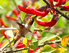 Fiesta Hummingbird by Don Baird