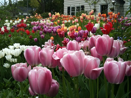 tulips in rockcliffe park