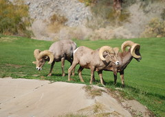 sheeps(0.0), elk(0.0), safari(0.0), cattle-like mammal(1.0), animal(1.0), sheep(1.0), argali(1.0), mammal(1.0), barbary sheep(1.0), herd(1.0), grazing(1.0), fauna(1.0), bighorn(1.0), pasture(1.0), wildlife(1.0),