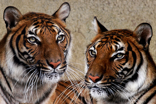 """T"" for Two Tigers.......!"