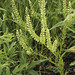 Virginia pepperweed - Photo (c) Frank Mayfield, some rights reserved (CC BY-SA)