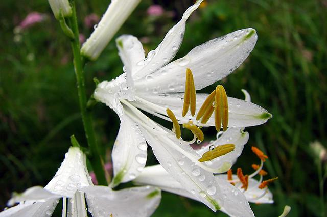weisse Trichterlilie