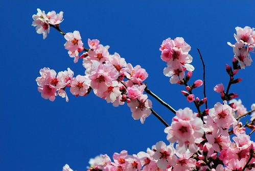 Finally,,,,,, Spring flower and colours (ornamental Cherry blossom)