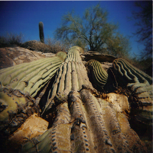 Downed Saugaro - South Mountain Park, Phoenix, AZ - 3/365