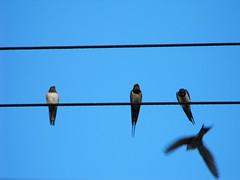 animal, wing, line, fauna, blue, swallow, sky, bird,