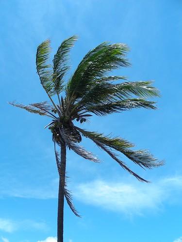 Molokai Palm tree in the wind