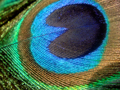 macro peacock feather