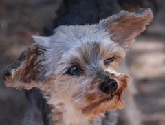 dandie dinmont terrier(0.0), australian terrier(0.0), dog breed(1.0), animal(1.0), dog(1.0), schnoodle(1.0), pet(1.0), australian silky terrier(1.0), norfolk terrier(1.0), glen of imaal terrier(1.0), biewer terrier(1.0), norwich terrier(1.0), morkie(1.0), cairn terrier(1.0), carnivoran(1.0), yorkshire terrier(1.0), terrier(1.0),