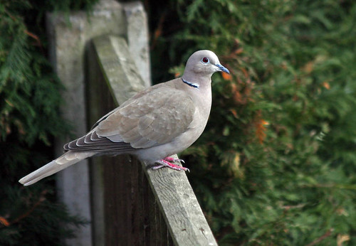 Collared Dove.