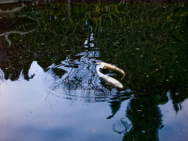Yin yang flickr photo sharing for Koi fish pond kelowna