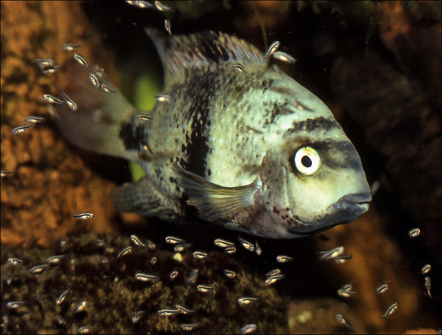 Black Belt Cichlid with children ♀