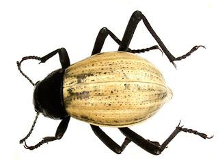 Onymacris marginipennis (Breme, 1840)
