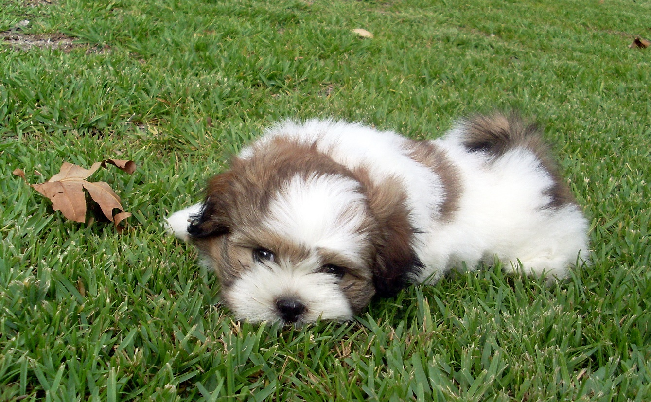 Image Result For Brown Maltese Puppies
