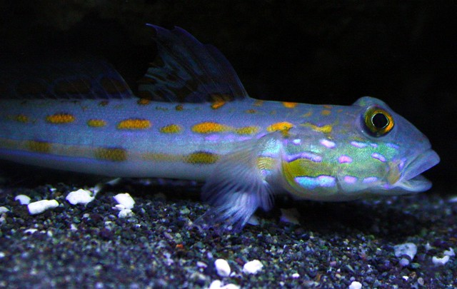 ... Goby For Sale http://www.pic2fly.com/Sand+Sifting+Goby+For+Sale.html