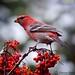 PINEGROSSBEAK BIRDS: BEAUTY