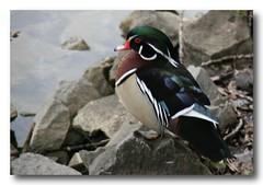 puffin(0.0), duck(0.0), animal(1.0), water bird(1.0), fauna(1.0), waterfowl(1.0), ducks, geese and swans(1.0), beak(1.0), bird(1.0),
