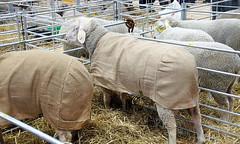 Frozen Sheep